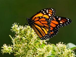 Mariposa monarca / Juan Emilio