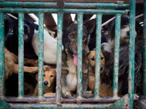 Perros capturados y robados para traficar con su carne.