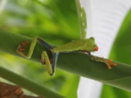 Rana arbórea calzonuda | Foto: Irene Benedicto, Costa Rica.